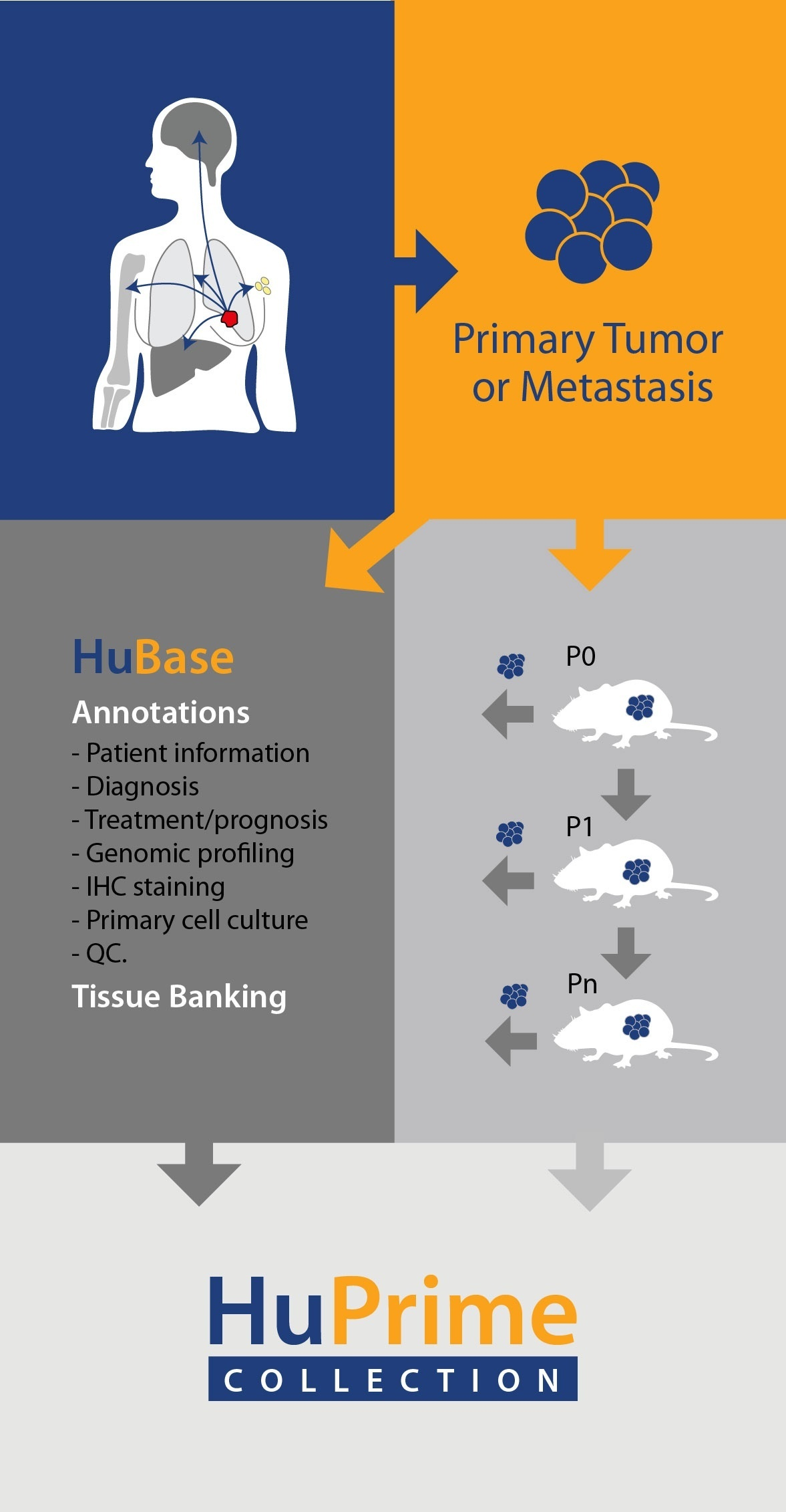Patient Derived Xenograft Models- HuPrime Collection