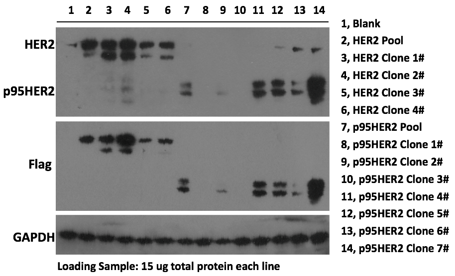 Characterization of HER2 and its mutants overexpressed in T47D stable clones using Western Blot.