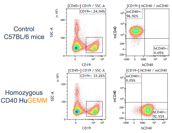 FACS analysis of spleen derived B cells from the CD40 HuGEMM confirms the chimeric h/mCD40 expression.