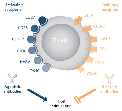 Immune Checkpoint Antibodies in T Cell Stimulation
