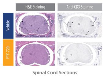 MOG-EAE Mouse Model Representative Spinal Cord Histopathology