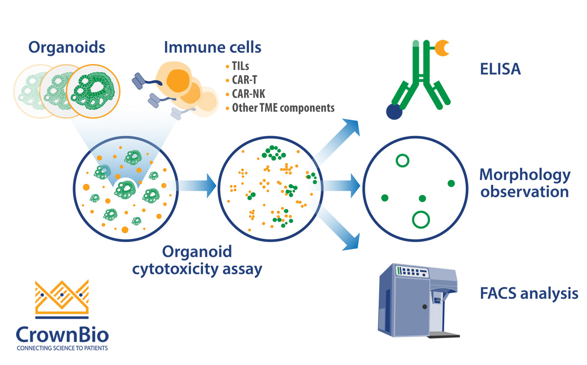 organoid co culture with immune cells for immuno-oncology applications
