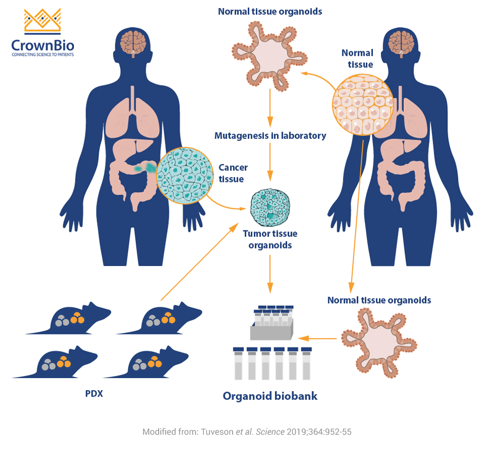 Organoids for Oncology Drug Development