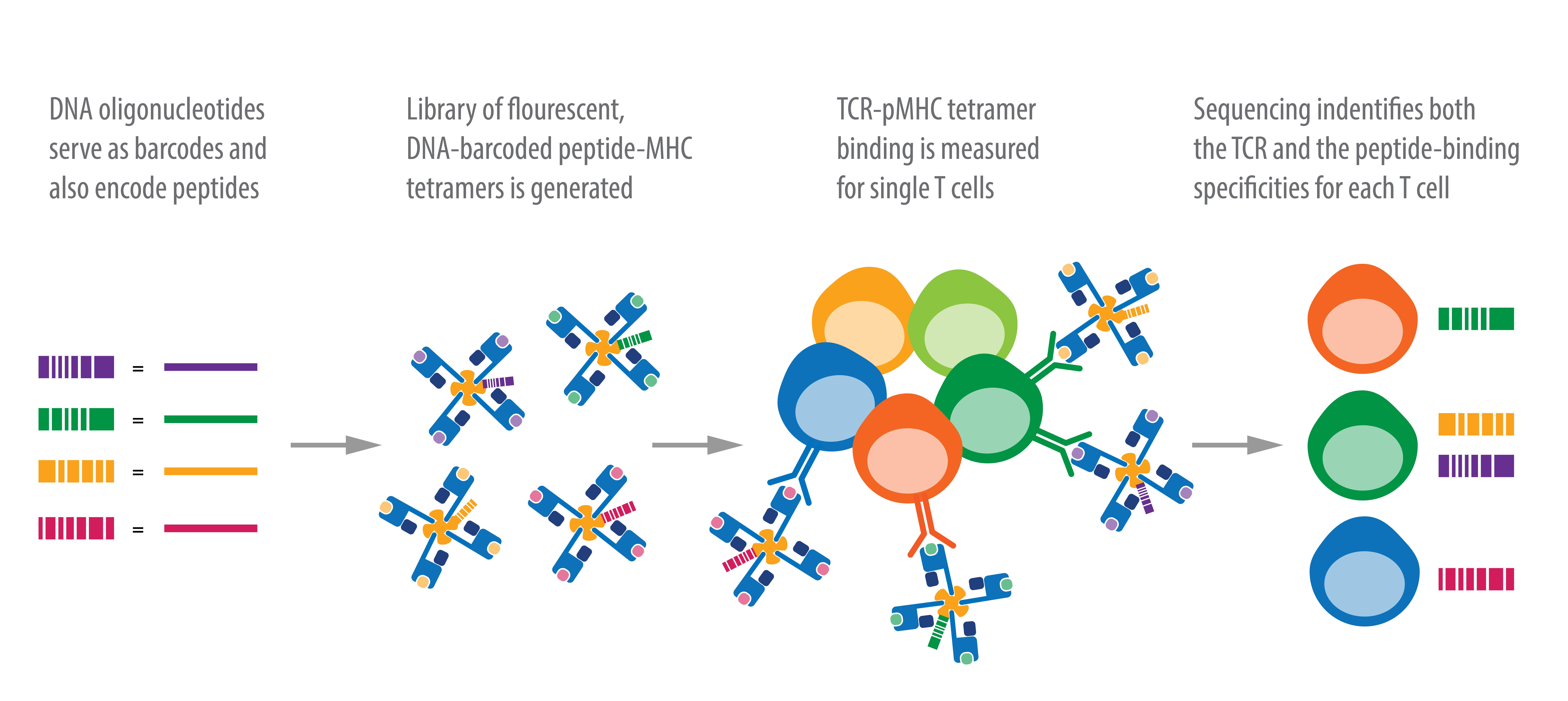 Identification of Single T Cell Populations by Barcoded pMHC Tetramers