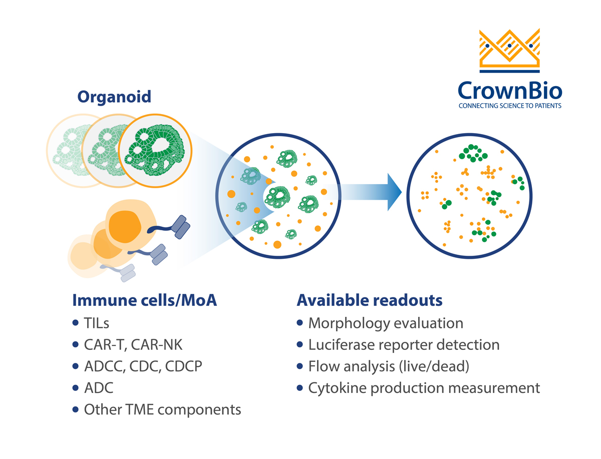 CrownBio tumor organoid and autologous immune cell co culture