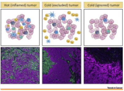 T淋巴細胞如何遷移到被炎性排斥及忽略的腫瘤中